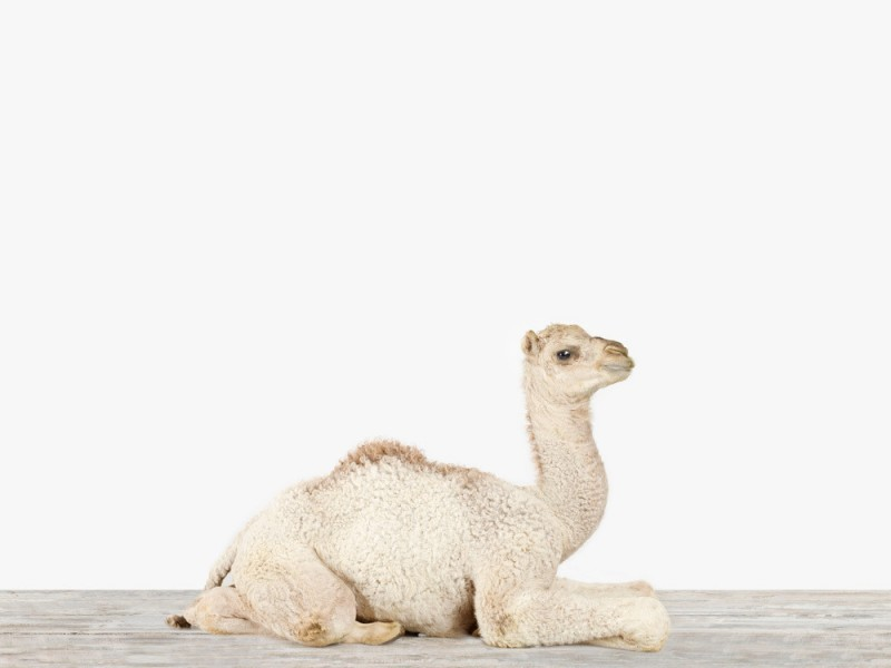 4310-sharon-montrose-baby-camel-no-2_9483390e-1550-4b9d-ba30-4e66a5a40e98_1024x1024